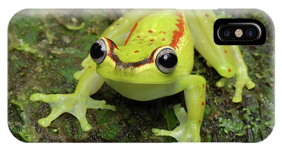 Mp IPhone X Case featuring the photograph Tree Frog Hyla Rubracyla, Colombia by Thomas Marent
