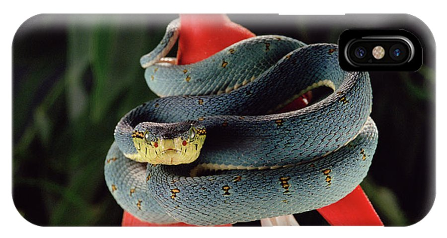 Mp IPhone X Case featuring the photograph Two-striped Forest Pit Viper Bothrops by Claus Meyer
