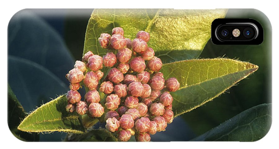 Laurustinus IPhone X / XS Case featuring the photograph Viburnum Tinus Flower Buds by Archie Young