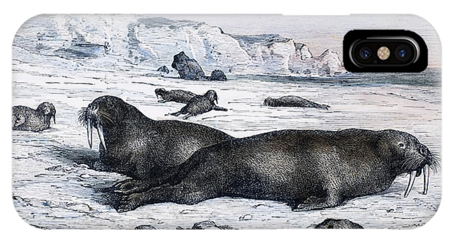 19th Century IPhone X Case featuring the photograph Walruses On Ice Field by Granger