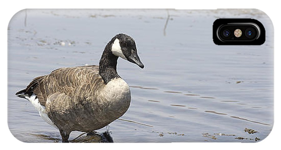 Canadian Goose IPhone X Case featuring the photograph Water Wading by Douglas Barnard