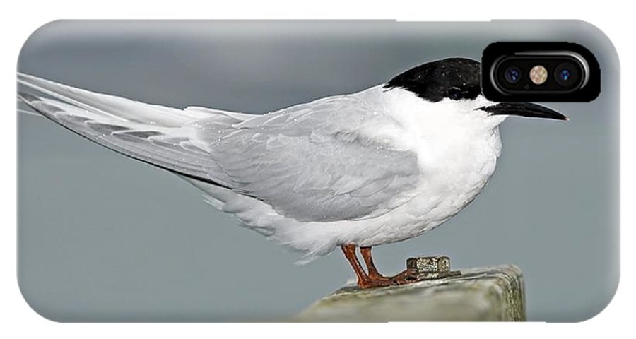 Sterna Striata IPhone X Case featuring the photograph White-fronted Tern by Tony Camacho