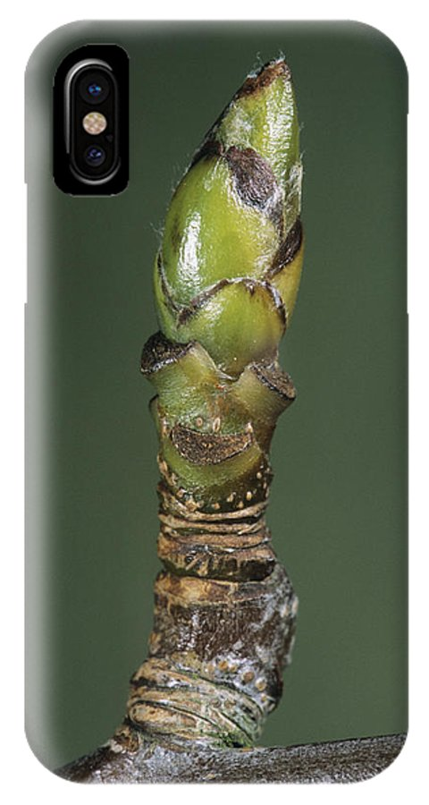 Sorbus Aria IPhone X Case featuring the photograph Whitebeam Tree Leaf Bud (sorbus Aria) by Bob Gibbons