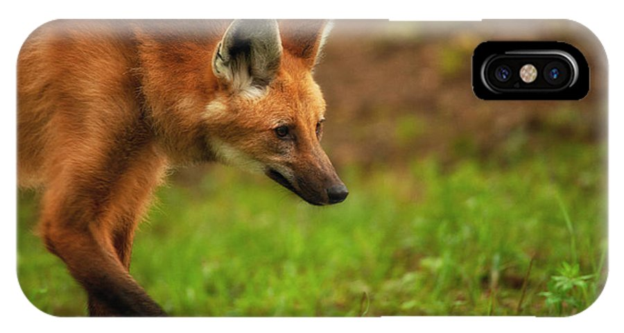 Maned Wolf IPhone X Case featuring the photograph Wolf Strut by Karol Livote