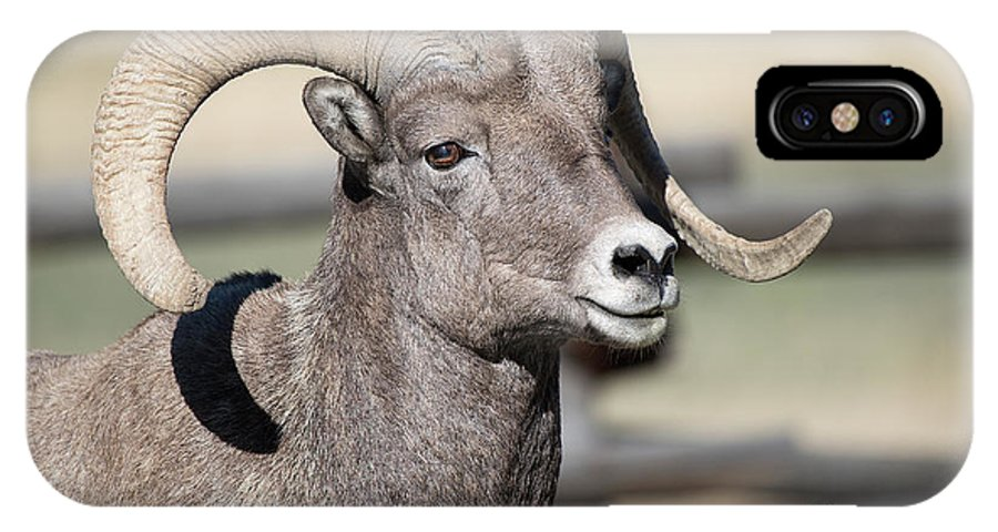 Bighorn Sheep IPhone X Case featuring the photograph Bighorn Ram by Connie Troutman