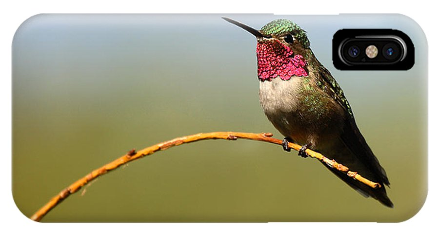 Hummingbird IPhone Case featuring the photograph Broad-tailed Hummingbird Bending A Willow Low by Max Allen