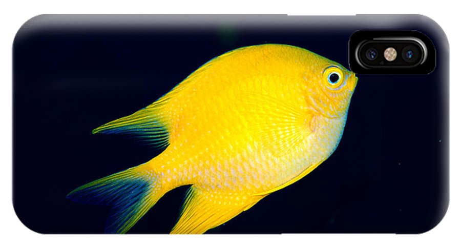 30-pfs0131 IPhone X Case featuring the photograph Golden Damselfish by Dave Fleetham - Printscapes