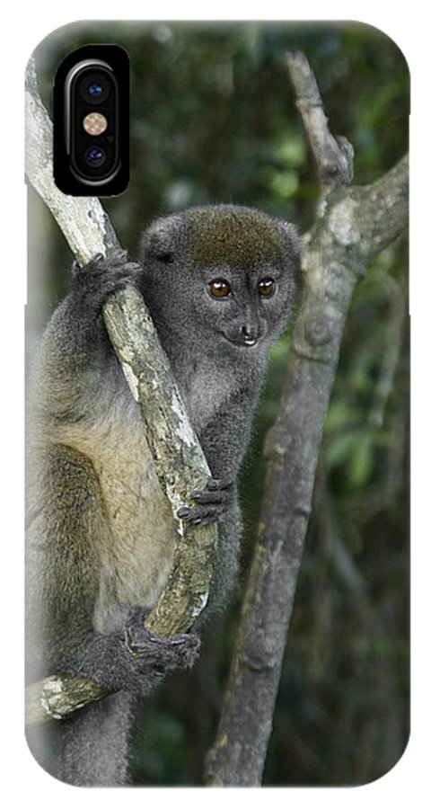 Madagascar IPhone X Case featuring the photograph Gray Bamboo Lemur by Michele Burgess