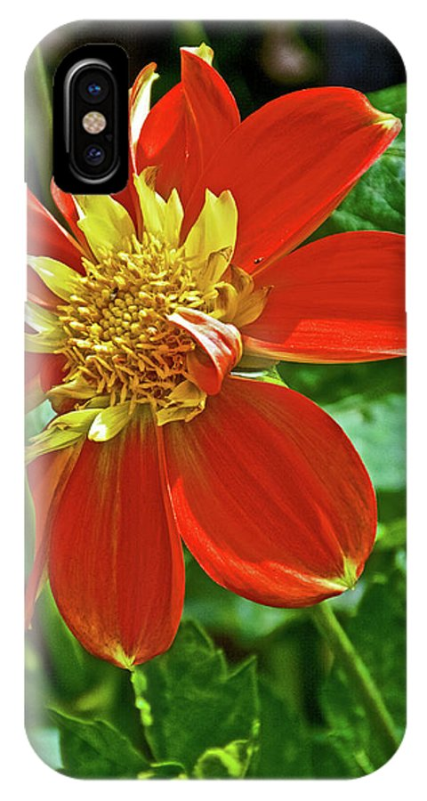 Pooh Collarette Dahlia In Golden Gate Park In San Francisco IPhone X Case featuring the photograph Pooh Collarette Dahlias In Golden Gate Park In San Francisco, California by Ruth Hager