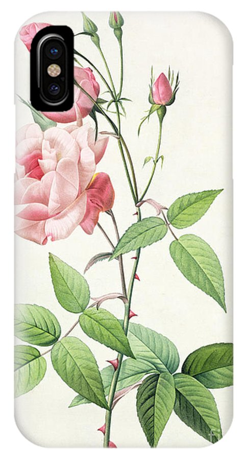 Rosa IPhone X Case featuring the drawing Rosa Indica Vulgaris by Pierre Joseph Redoute