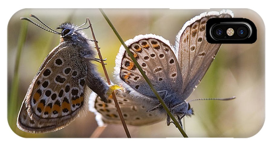 Butterfly IPhone X Case featuring the photograph Silver-studded Blue Butterflies by Bob Kemp