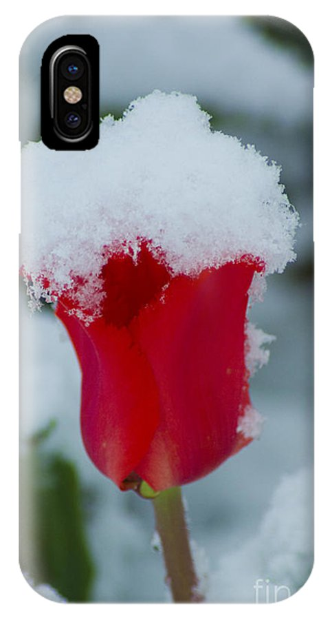 Tulip IPhone X Case featuring the photograph Snowy Red Riding Hood by Louise Magno