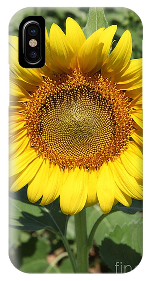 Sunflowers IPhone X Case featuring the photograph Sunflower 09 by Amanda Barcon