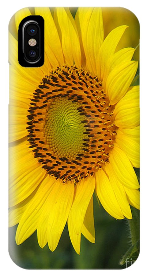 Sunflowers IPhone X Case featuring the photograph Sunflower by Amanda Barcon