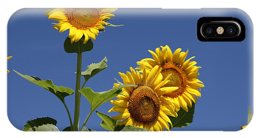 Sunflowers IPhone X Case featuring the photograph Sunflowers by Amanda Barcon