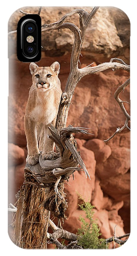 Mammal IPhone X Case featuring the photograph Treed Mountain Lion by Dennis Hammer