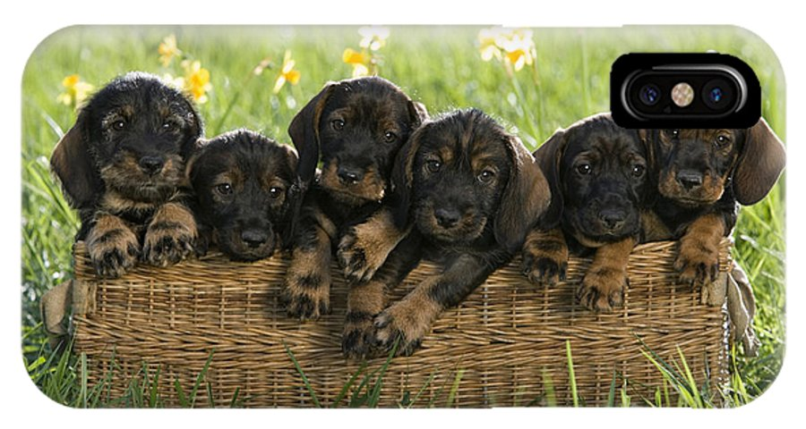Wire-haired Dachshund Puppies IPhone X Case