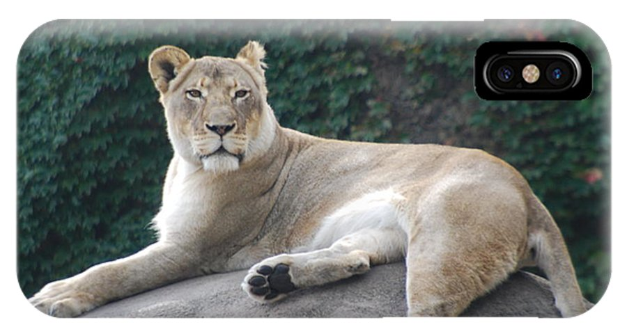 Animals IPhone X Case featuring the photograph Zoo Lion by Jose Canales