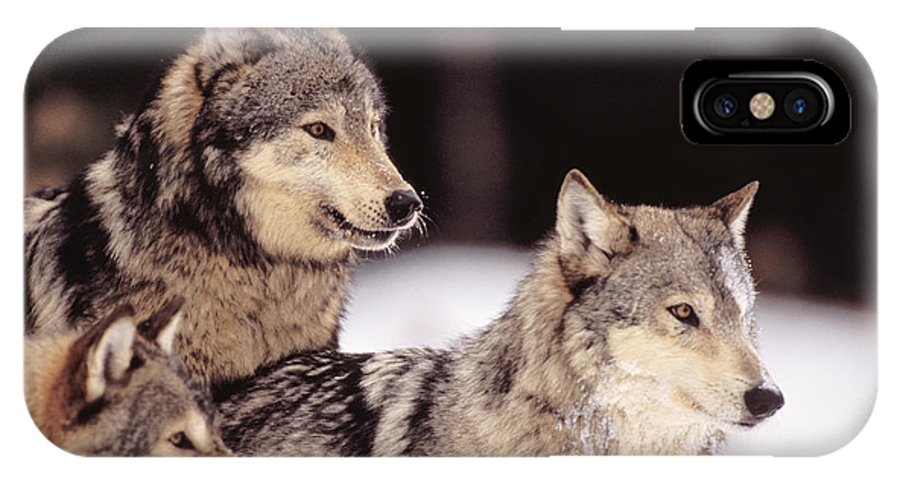 Afternoon IPhone X Case featuring the photograph Gray Wolves by John Hyde - Printscapes