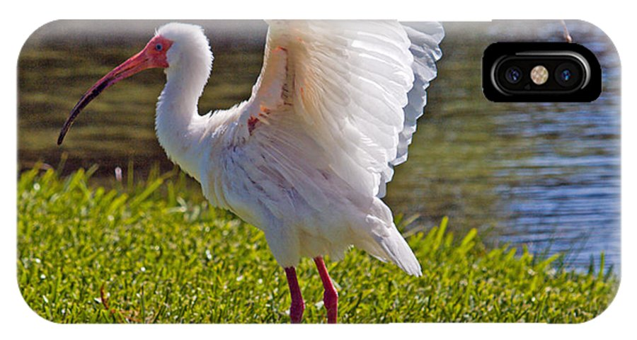 Ibis; White; Bird; Florida; Frog; Pollywogs; Pond; Seabird; Shore; Coast; Water; Fowl; Waterfowl; Fe IPhone X Case featuring the photograph White Ibis by Allan Hughes