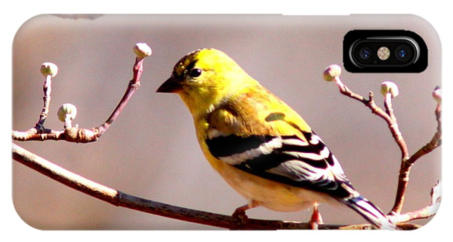 Goldfinch IPhone X / XS Case featuring the photograph 2164 - Goldfinch by Travis Truelove