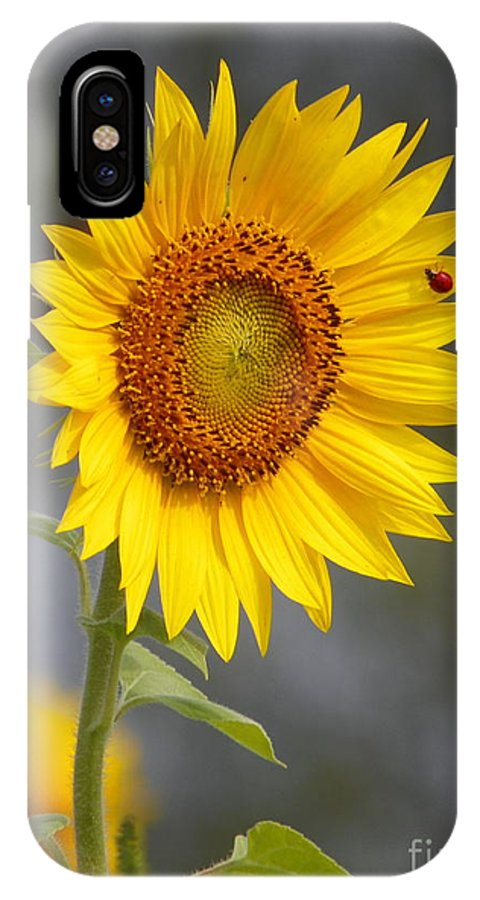 #933 D958 Friends For Life IPhone X Case featuring the photograph #933 D958 Best Of Friends Colby Farm Sunflowers Newbury Massachusetts by Robin Lee Mccarthy Photography