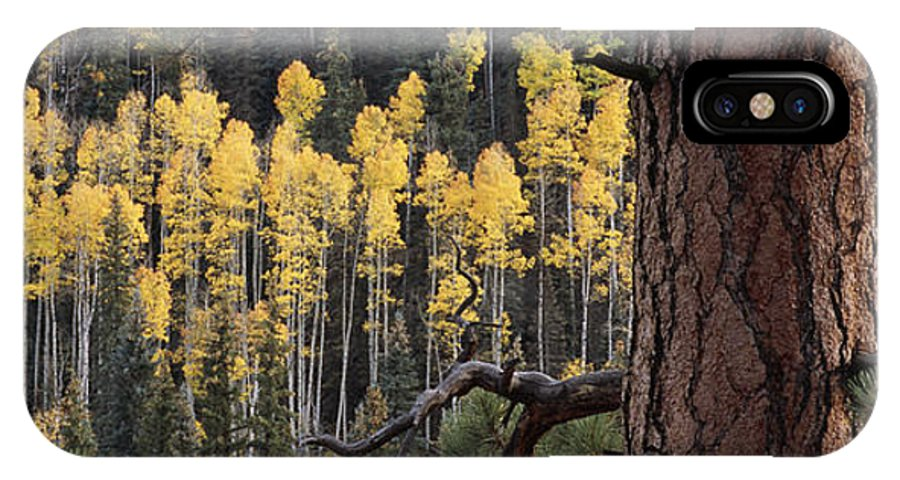 Outdoors IPhone X Case featuring the photograph A Ponderosa Pine Tree Among Aspen Trees by Bill Hatcher