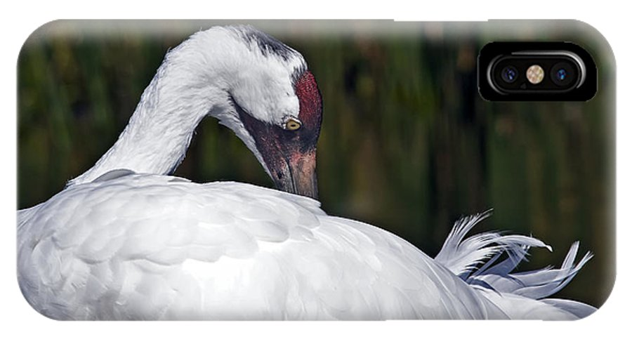 Avian IPhone X Case featuring the photograph A Preening Whooping Crane by Al Mueller