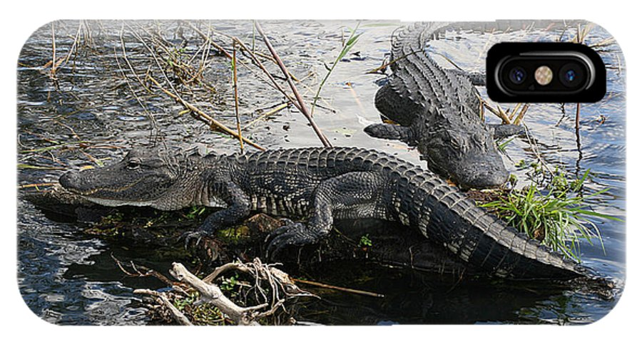 Alligator IPhone X / XS Case featuring the photograph Alligators In An Everglades Swamp by Max Allen