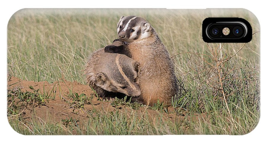 Badger IPhone X Case featuring the photograph American Badger Cub Climbs On Its Mother by Tony Hake