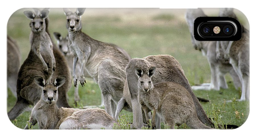 Alert IPhone X Case featuring the photograph An Alert Mob Of Eastern Grey Kangaroos by Jason Edwards