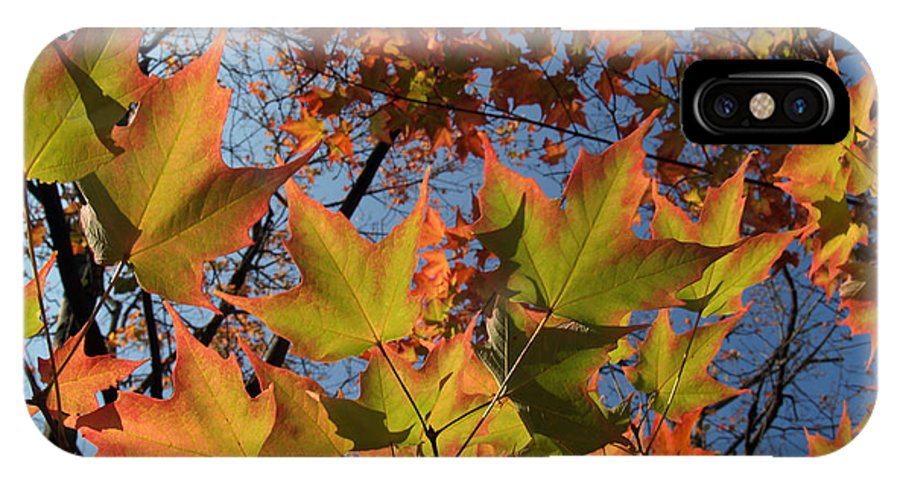 Leaf IPhone X Case featuring the photograph Back-lit Sugar Maple Leaves From Below by Anna Lisa Yoder