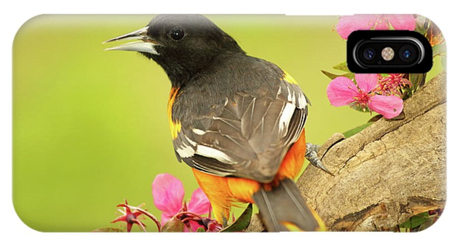 Autumn IPhone X Case featuring the photograph Baltimore Oriole Among Apple Blossoms by Max Allen