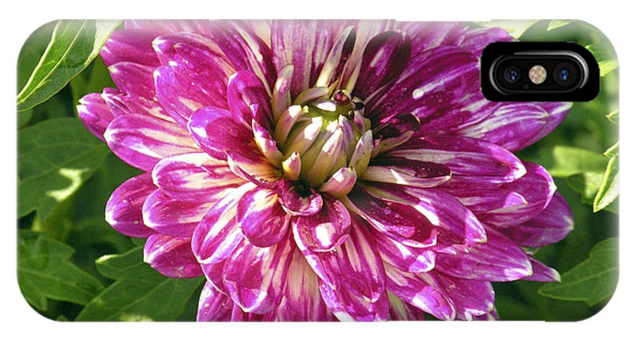 Dahlia IPhone X Case featuring the photograph Beautiful Pink And White Dahlia by Marilyn Hunt