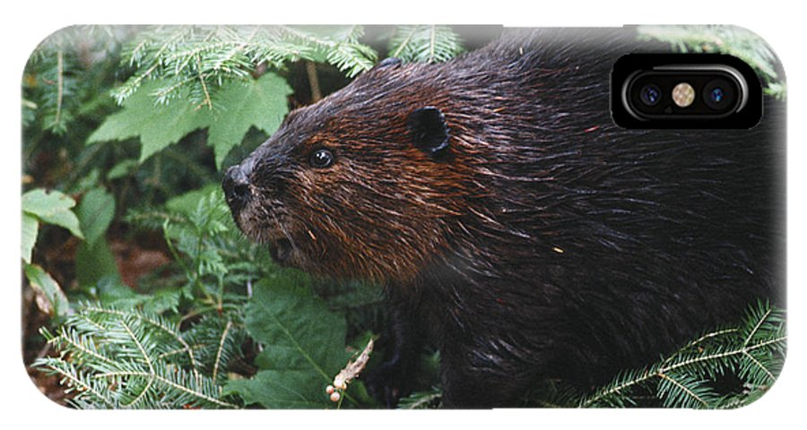 Beaver IPhone X Case featuring the photograph Beaver In Forest by Steve Somerville
