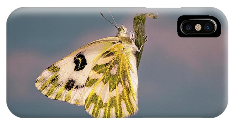 Becker's; White; Butterfly; Pontia; Beckerii; Great; Beasin; White; Sagebrush; White; Probiscis; Feeding Tube; Nectar; Pollen; Nature; Outdoors; Garden; Tranquil; Feeding; Eating IPhone X Case featuring the photograph Becker's White Butterfly by Buddy Mays