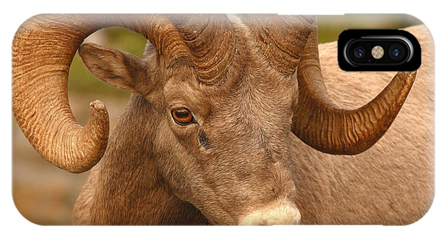 Bighorn IPhone Case featuring the photograph Bighorn Ram With Evident Disdain by Max Allen