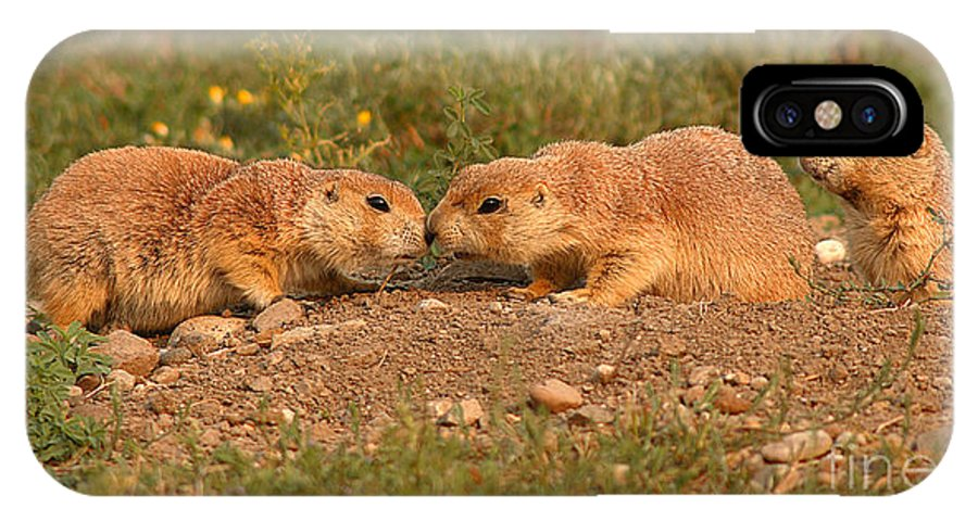 Prairie Dog IPhone X Case featuring the photograph Black-tailed Prairie Dog Greeting Kiss by Max Allen