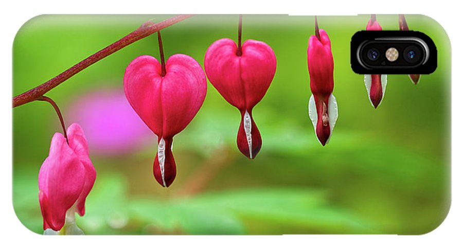 Lamprocapnos-spectabilis IPhone X / XS Case featuring the photograph Bleeding Hearts - Lamprocapnos-spectabilis by Susie Peek