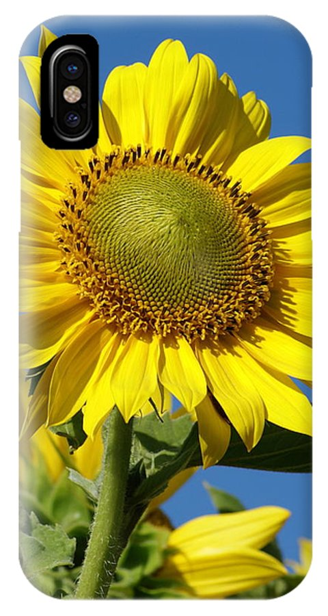 Flowers IPhone X Case featuring the photograph Blue Sky Sunflower Day by Ben Upham III