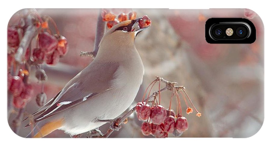 Bohemian Waxwing IPhone X Case featuring the photograph Bohemian Waxwing 3 by Victoria Dauphinee