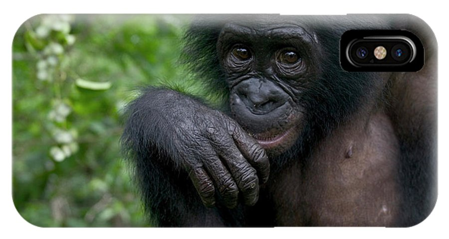 Mp IPhone X Case featuring the photograph Bonobo Pan Paniscus Juvenile Orphan by Cyril Ruoso