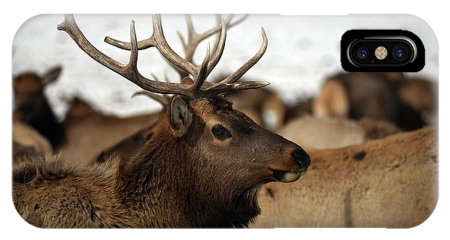 Cervus Canadensis IPhone X Case featuring the photograph Bull Elk At Hardware Ranch by Ron Brown Photography