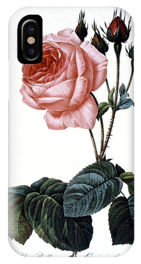 1833 IPhone X Case featuring the photograph Cabbage Rose by Granger