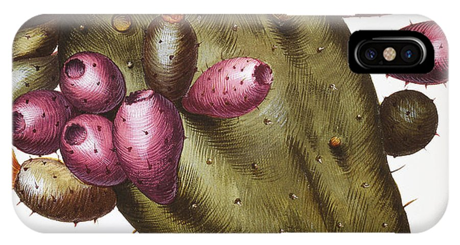 1613 IPhone X Case featuring the photograph Cactus: Opuntia, 1613 by Granger