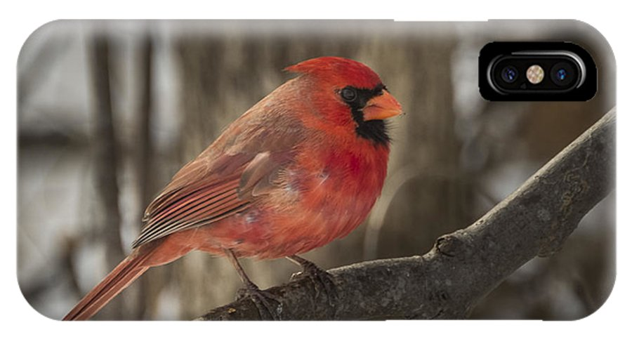 Northern Cardinal IPhone X Case featuring the photograph Cardinal by David Hook