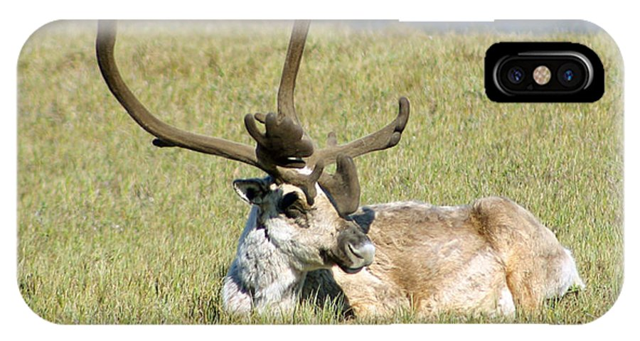 Caribou IPhone X Case featuring the photograph Caribou Rest by Anthony Jones