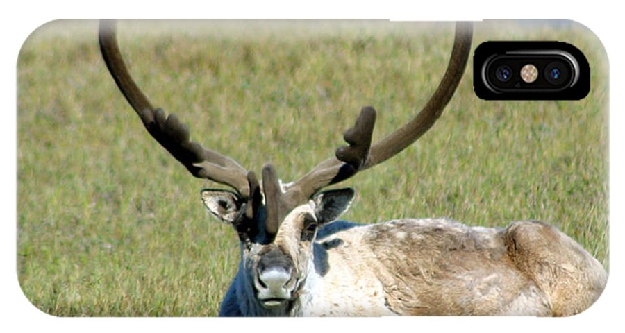 Caribou IPhone X Case featuring the photograph Caribou Resting In Tundra Grass by Anthony Jones