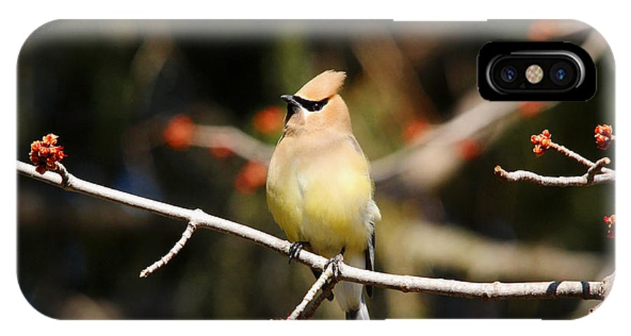 Cedar Waxwing IPhone X Case featuring the photograph Cedar Waxwing by Debbie Oppermann