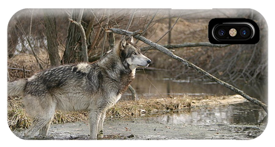 Wolf Canid Canus Lupis Wildlife Wild Animal Mammal Gray Grey Timberwolf Photograph Photography Digital Art IPhone X Case featuring the photograph Concentration by Shari Jardina